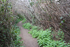photo showing the short walking trail from our guest rooms to the ocean cliffs, Todd's Point and Pomo Bluffs.