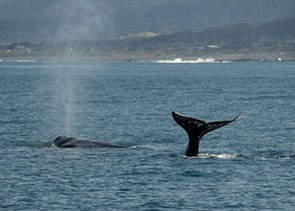 Photo of a Whales tale in the Pacific Ocean.